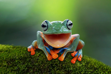 Deurstickers Kikker Tree frog, flying frog laughing