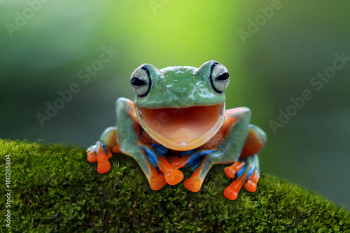 Wall mural Tree frog, flying frog laughing