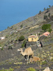 Dromedar auf La Palma