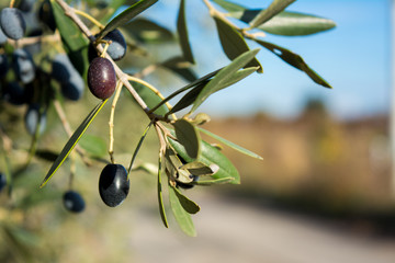 Detail Of An Olive Tree With A Close Up Of A Branch And Some Leaves