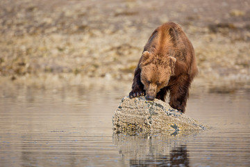 Brown bear standing on a rock and eating barnacles in Alaska