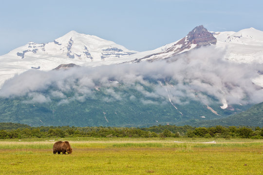 Brown bear grazing in the meadow against snowy mountains
