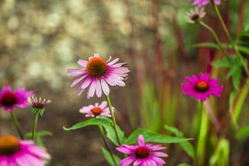 Echinacea, Sonnenhut. Homöopatische Mittel im Garten