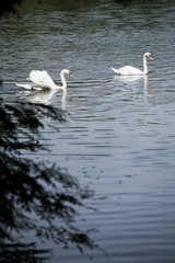White swans / white swan lake