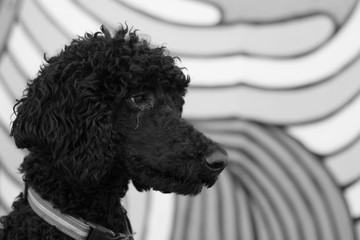 Crying Poodle Black and White