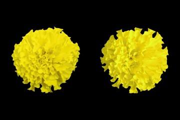 Yellow marigold isolated on black background.