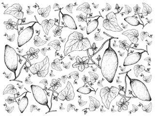 Hand Drawn of Coccinia Grandis Fruits or Ivy Gourd Background