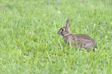 Pennsylvania Wild Rabbit