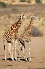 Giraffes (Giraffa camelopardalis) in desert habitat, Kalahari desert, South Africa.