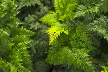 bright green fern leaves background.