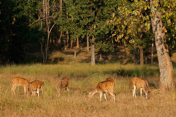Group of spotted deer (Axis axis) in natural habitat, Kanha National Park, India.