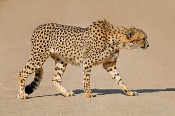 A cheetah (Acinonyx jubatus) stalking prey, South Africa.