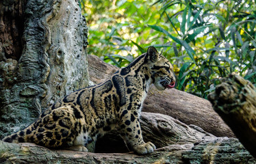 Earth Toned Fur on a Clouded Leopard Cub  Sitting in a Tree