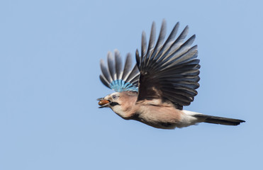 Flying Jay bring acorns