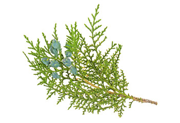 Twig of thuja with cones on a white background