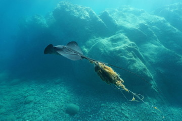 A stingray swims underwater injured and tangled by a fishing line, Mediterranean sea, Costa Brava, Catalonia, Spain