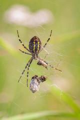 Wespenspinne mit Beute - Makroaufnahme