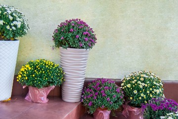 asters, dahlias of different colors in pots