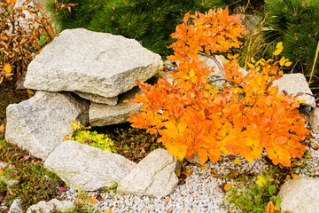Beech bonsai on a rockery in the autumn with beautiful yellow and orange leaves