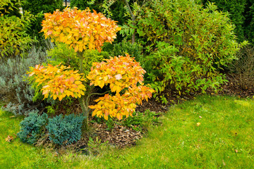 Beech bonsai in the autumn with beautiful yellow and orange leaves