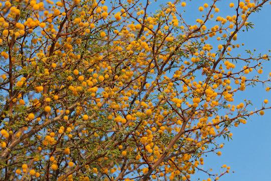 Blüte der Süssen Akazie