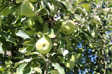 The green apples on the apple tree in the orchard.