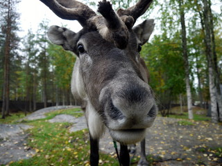 Face of a reindeer