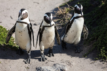 Pinguine in Betty's Bay, Südafrika