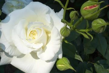 白いバラの花