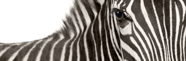 Wall Murals Zebra Zebra (4 years)
