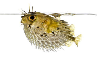 side view of a Long-spine porcupinefish (spiny balloonfish)