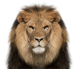 Spoed Foto op Canvas Leeuw Close-up of lion, Panthera leo, 8 years old, in front of white background
