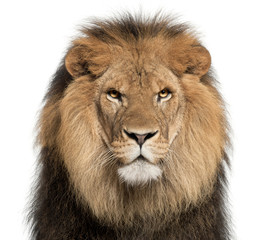 Foto auf Leinwand Löwe Close-up of lion, Panthera leo, 8 years old, in front of white background