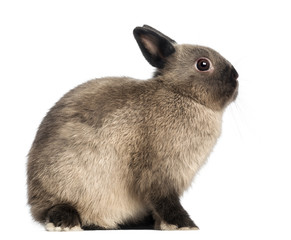 Domestic rabbit, looking up against white background