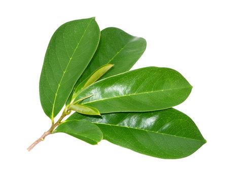 Soursop leaf on white background.