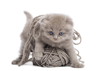 Front view of a Highland fold kitten playing with a wool ball, isolated on white