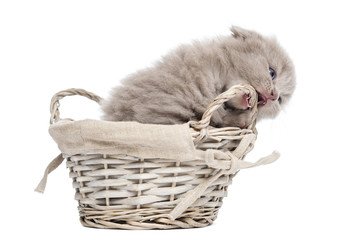 Front view of a Highland fold kitten in a wicker basket, playing, isolated on white