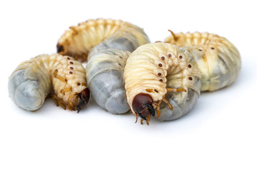 Image of grub worms, Coconut rhinoceros beetle (Oryctes rhinoceros), Larva on white background.