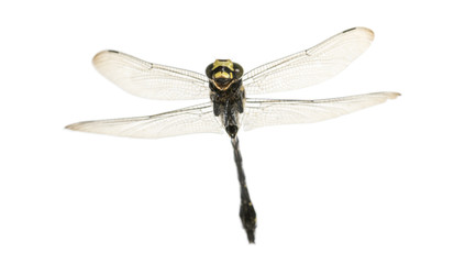 Flying Cordulegaster bidentata viewed from below, isolated on wh