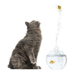 Side view of a British Longhair sitting, looking with envy at a fish jumping out of its bowl, isolated on white