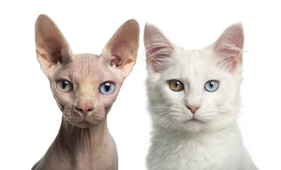 Close-up of a Main coon kitten and a Sphynx