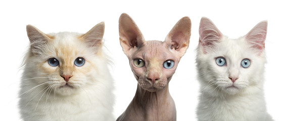 Close-up of a Birman cat, a Main coon kitten and a Sphynx