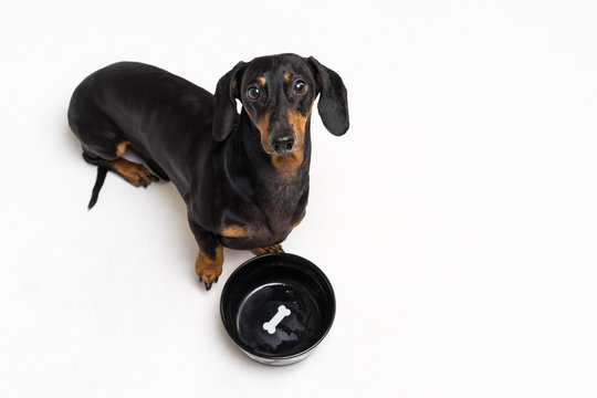 top view on hungry dog dachshund, black and tan, waiting and looks up to have his bowl filled food isolated on gray background