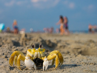 Ghost Crab on Crowded Beach, Day