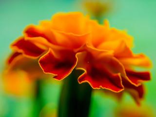 Orange and Ref Flower Macro