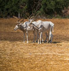 animal antelope addax