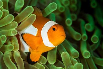 false clown anemonefish, clownfish