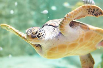 big sea Turtle swimming in the aquarium water