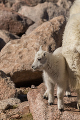 Cute Mountain Goat Kid on Mount Evans Colorado