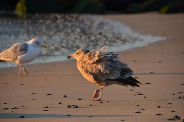 Sunrise seagull